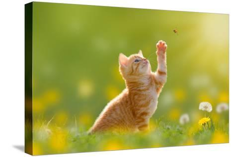 Young Cat / Kitten Hunting a Ladybug with Back Lit- Photo-SD-Stretched Canvas Print