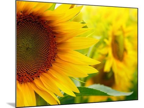Sunflowers-SJ Travel Photo and Video-Mounted Photographic Print