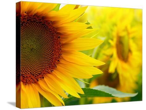 Sunflowers-SJ Travel Photo and Video-Stretched Canvas Print