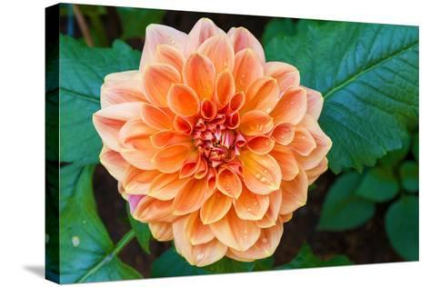 Beautiful Dahlia Flower and Water Drop in Garden- luckypic-Stretched Canvas Print