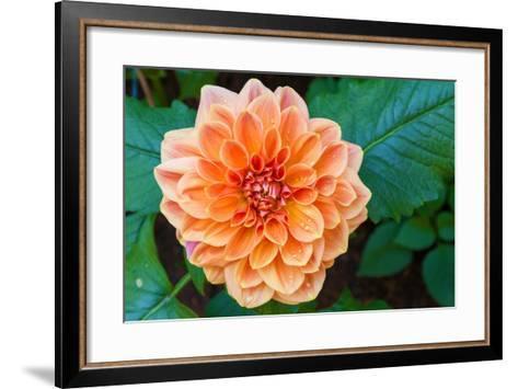 Beautiful Dahlia Flower and Water Drop in Garden- luckypic-Framed Art Print