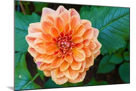 Beautiful Dahlia Flower and Water Drop in Garden- luckypic-Mounted Photographic Print