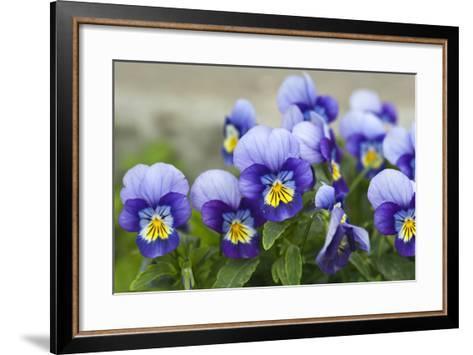 Violas- Catherine311-Framed Art Print