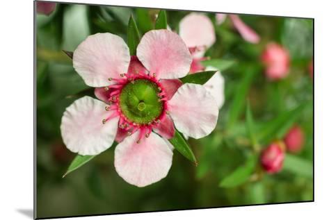 Close-Up of a Pink Manuka (Leptospermum Scoparium) Flower-Srekap-Mounted Photographic Print