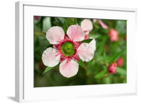 Close-Up of a Pink Manuka (Leptospermum Scoparium) Flower-Srekap-Framed Art Print