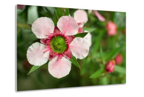 Close-Up of a Pink Manuka (Leptospermum Scoparium) Flower-Srekap-Metal Print