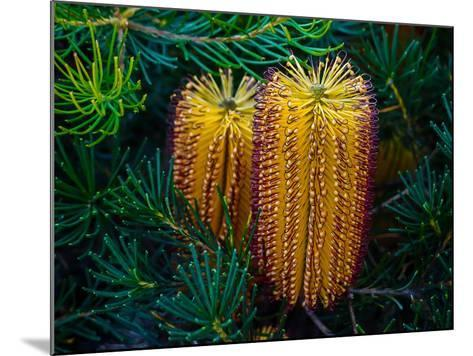 Native Banksia Flower-Lily Zdilar-Mounted Photographic Print
