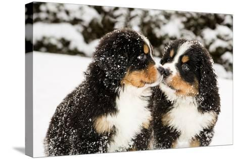 Snowy Bernese Mountain Dog Puppets Sniff Each Others-Einar Muoni-Stretched Canvas Print