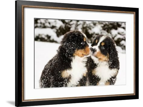 Snowy Bernese Mountain Dog Puppets Sniff Each Others-Einar Muoni-Framed Art Print