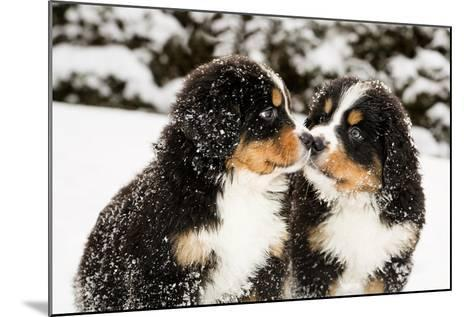Snowy Bernese Mountain Dog Puppets Sniff Each Others-Einar Muoni-Mounted Photographic Print