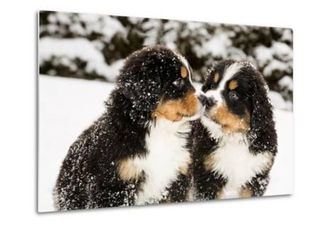 Snowy Bernese Mountain Dog Puppets Sniff Each Others-Einar Muoni-Metal Print