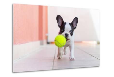 French Bulldog Puppy Playing with His Ball- Kwiatek7-Metal Print