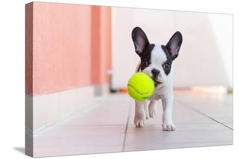 French Bulldog Puppy Playing with His Ball- Kwiatek7-Stretched Canvas Print