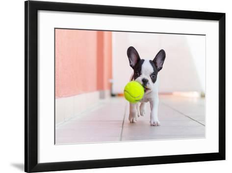 French Bulldog Puppy Playing with His Ball- Kwiatek7-Framed Art Print