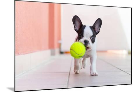 French Bulldog Puppy Playing with His Ball- Kwiatek7-Mounted Photographic Print