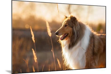 Portrait of Rough Collie at Sunset-Grigorita Ko-Mounted Photographic Print