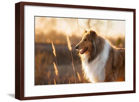Portrait of Rough Collie at Sunset-Grigorita Ko-Framed Art Print
