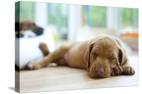 Cute Little Rhodesian Ridgeback Puppy Sleeping on the Ground. the Little Dogs are Four Weeks of Age-nancy dressel-Stretched Canvas Print