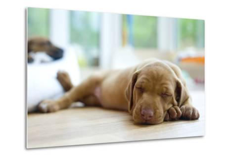 Cute Little Rhodesian Ridgeback Puppy Sleeping on the Ground. the Little Dogs are Four Weeks of Age-nancy dressel-Metal Print