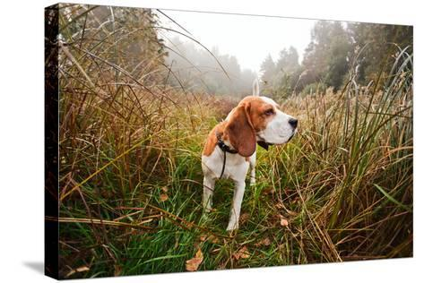 Hunting Dog in the Foggy Morning in Forest-Igor Normann-Stretched Canvas Print