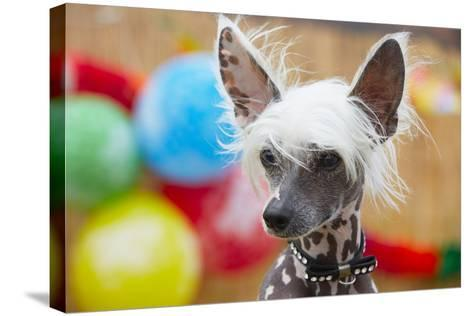 Portrait of Chinese Crested Dog - Copy Space-Jaromir Chalabala-Stretched Canvas Print