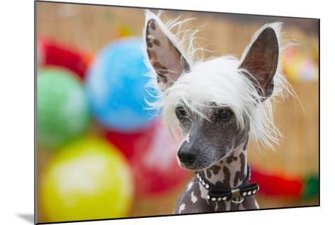 Portrait of Chinese Crested Dog - Copy Space-Jaromir Chalabala-Mounted Photographic Print