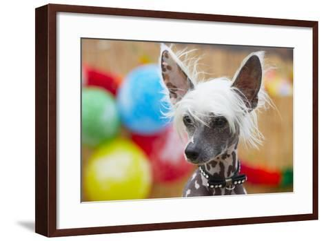 Portrait of Chinese Crested Dog - Copy Space-Jaromir Chalabala-Framed Art Print