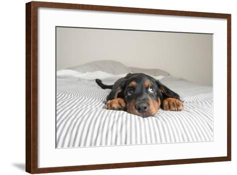 Cute Rottweiler Mix Puppy Sleeping on Striped White and Gray Sheets on Human Bed Looking at Camera-Anna Hoychuk-Framed Art Print