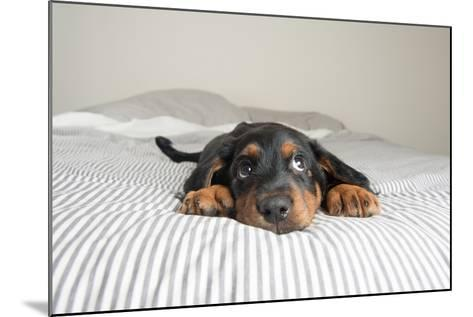 Cute Rottweiler Mix Puppy Sleeping on Striped White and Gray Sheets on Human Bed Looking at Camera-Anna Hoychuk-Mounted Photographic Print