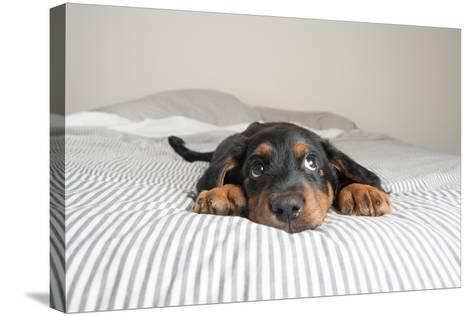 Cute Rottweiler Mix Puppy Sleeping on Striped White and Gray Sheets on Human Bed Looking at Camera-Anna Hoychuk-Stretched Canvas Print