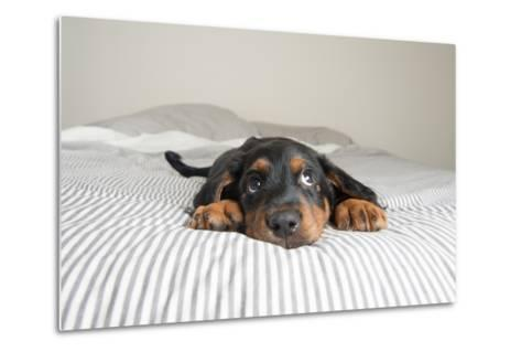 Cute Rottweiler Mix Puppy Sleeping on Striped White and Gray Sheets on Human Bed Looking at Camera-Anna Hoychuk-Metal Print