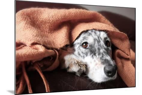 Border Collie / Australian Shepherd Dog under Blanket on Couch Looking Hopeful Lonely Sick Tired Bo-Lindsay Helms-Mounted Photographic Print