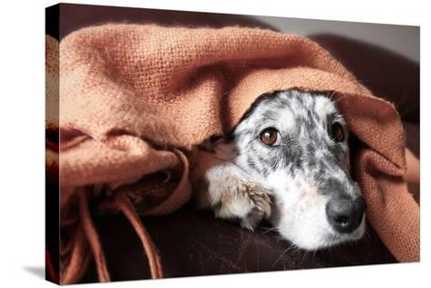 Border Collie / Australian Shepherd Dog under Blanket on Couch Looking Hopeful Lonely Sick Tired Bo-Lindsay Helms-Stretched Canvas Print