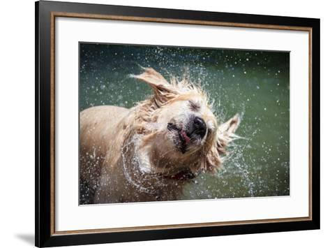 Golden Retriever Shaking off Water-Lorenzo Patoia-Framed Art Print