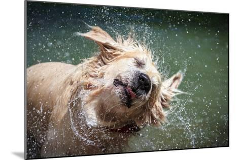 Golden Retriever Shaking off Water-Lorenzo Patoia-Mounted Photographic Print