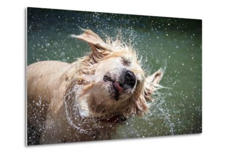 Golden Retriever Shaking off Water-Lorenzo Patoia-Metal Print