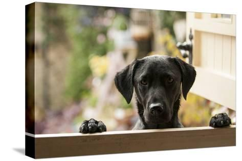 Black Labrador-claire norman-Stretched Canvas Print