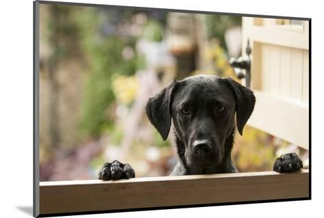 Black Labrador-claire norman-Mounted Photographic Print