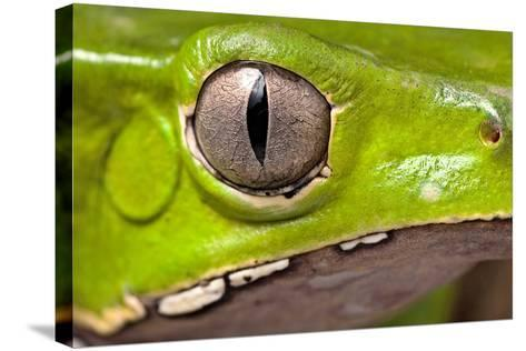 Frog Eye Amphibian Vertical Pupil Beautiful Animal Detail of Iris Phyllomedusa Bicolor-Dirk Ercken-Stretched Canvas Print