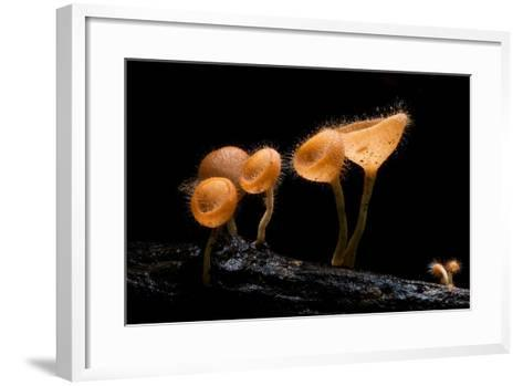Pink Burn Cup Mushroom Isolated on Black Background- gopause-Framed Art Print