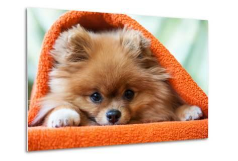 Cute and Funny Puppy Pomeranian Smiling on Orange Background- barinovalena-Metal Print