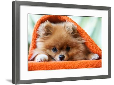 Cute and Funny Puppy Pomeranian Smiling on Orange Background- barinovalena-Framed Art Print