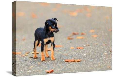 Animals Homeless. Little Dog Cute Puppy Pet Outdoor- Voyagerix-Stretched Canvas Print