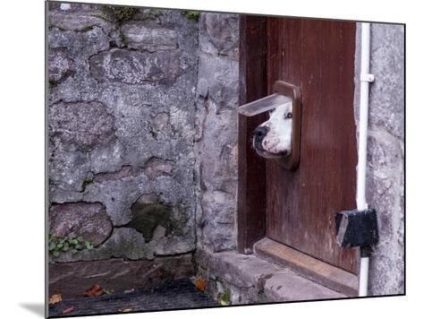 Dog Poking its Head through a Cat Flap-david muscroft-Mounted Photographic Print