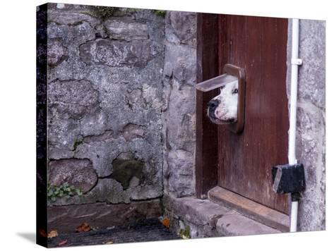 Dog Poking its Head through a Cat Flap-david muscroft-Stretched Canvas Print