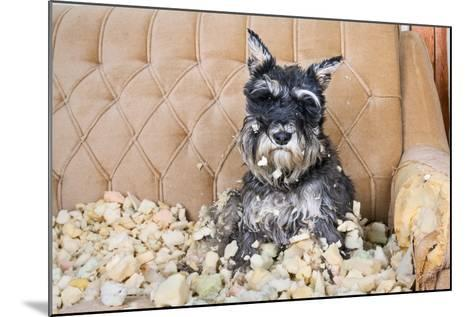 Naughty Bad Schnauzer Puppy Dog Sitting on a Couch that She Has Just Destroyed.- Maximilian100-Mounted Photographic Print