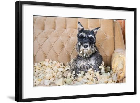 Naughty Bad Schnauzer Puppy Dog Sitting on a Couch that She Has Just Destroyed.- Maximilian100-Framed Art Print