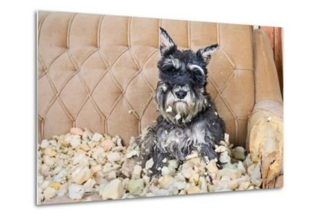 Naughty Bad Schnauzer Puppy Dog Sitting on a Couch that She Has Just Destroyed.- Maximilian100-Metal Print