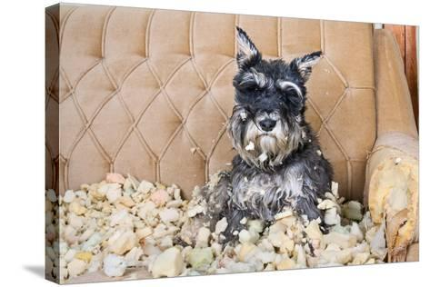 Naughty Bad Schnauzer Puppy Dog Sitting on a Couch that She Has Just Destroyed.- Maximilian100-Stretched Canvas Print