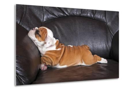 English Bulldog Puppy Relaxing on Black Leather Sofa.- B Stefanov-Metal Print